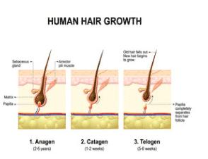 testosterone e capelli